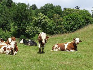 Une partie des vaches laitières de Jean-Marc Masselier qui produit des fromages de Munster (un des préférés de Michel…), du Barikaas et du beurre… Photos : JLS (Cliquez pour agrandir)