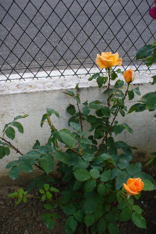 des roses pour dimanche