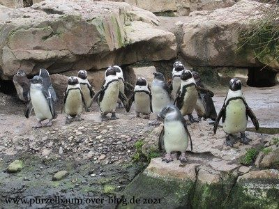 Brillenpinguine