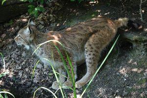 Lynx, le plus grand félin d'Europe dans ''Nos Amis sauvages''