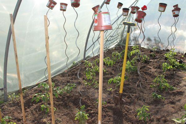 Plantations tomates