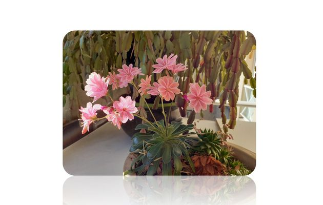 Peut-on multiplier le lewisia ?