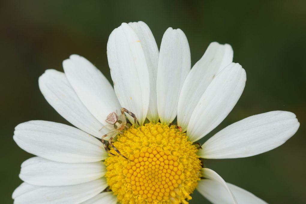 Araignées crabes et leurs proies souvent bien plus grosses qu'elles.