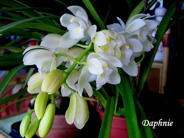 Orchifidélité :Cymbidium The Judge