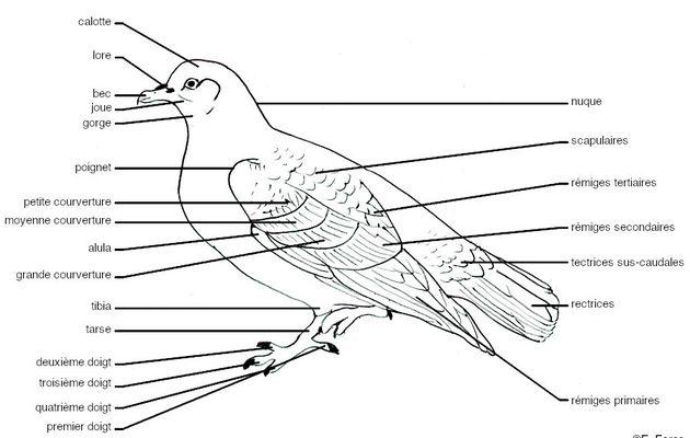 Glossaire illustré d'ornithologie