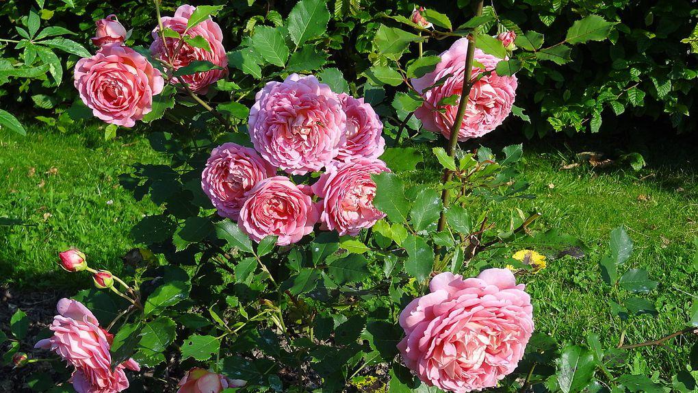 Album - album rose anglaise