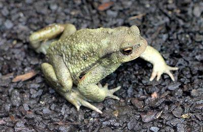 faune : amphibiens : anoures (grenouilles,crapauds)