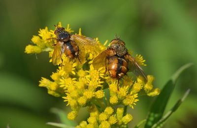 Tachina fera et Ectophasia crassipennis : 2 mouches tachinaires...