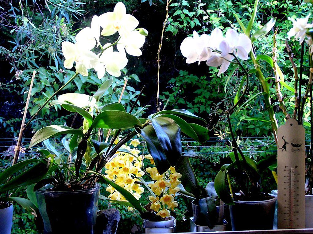 Moment d'intense émotion Après plusieurs années ponctuellement les nouvelles hampes apparaissent chargées de fleurs .Une belle récompense