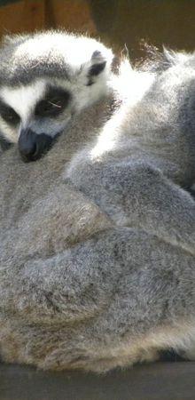 Naissance de deux makis varis au Zoo de La Palmyre...