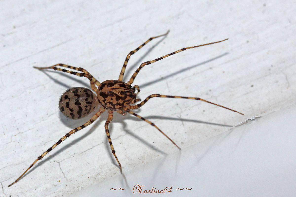Araignée cracheuse