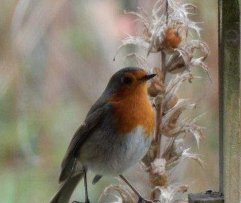 Nos oiseaux du jardin .... Le Petit rouge-gorge