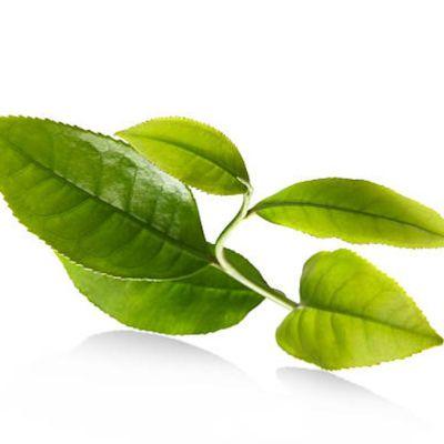 Trisomie 21 (syndrome de Down), traitement du diabète et thé vert