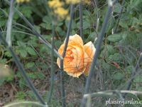 Le rosier 'Crown Princess Margareta'