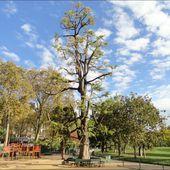 Ginkgo Biloba ou arbre aux quarante écus, Parc Monceau , Paris 8 éme ( Paris 75 ) A - ONVQF.over-blog.com