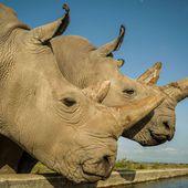 Rhinocéros blancs du Nord : l'espoir de les ressusciter renaît