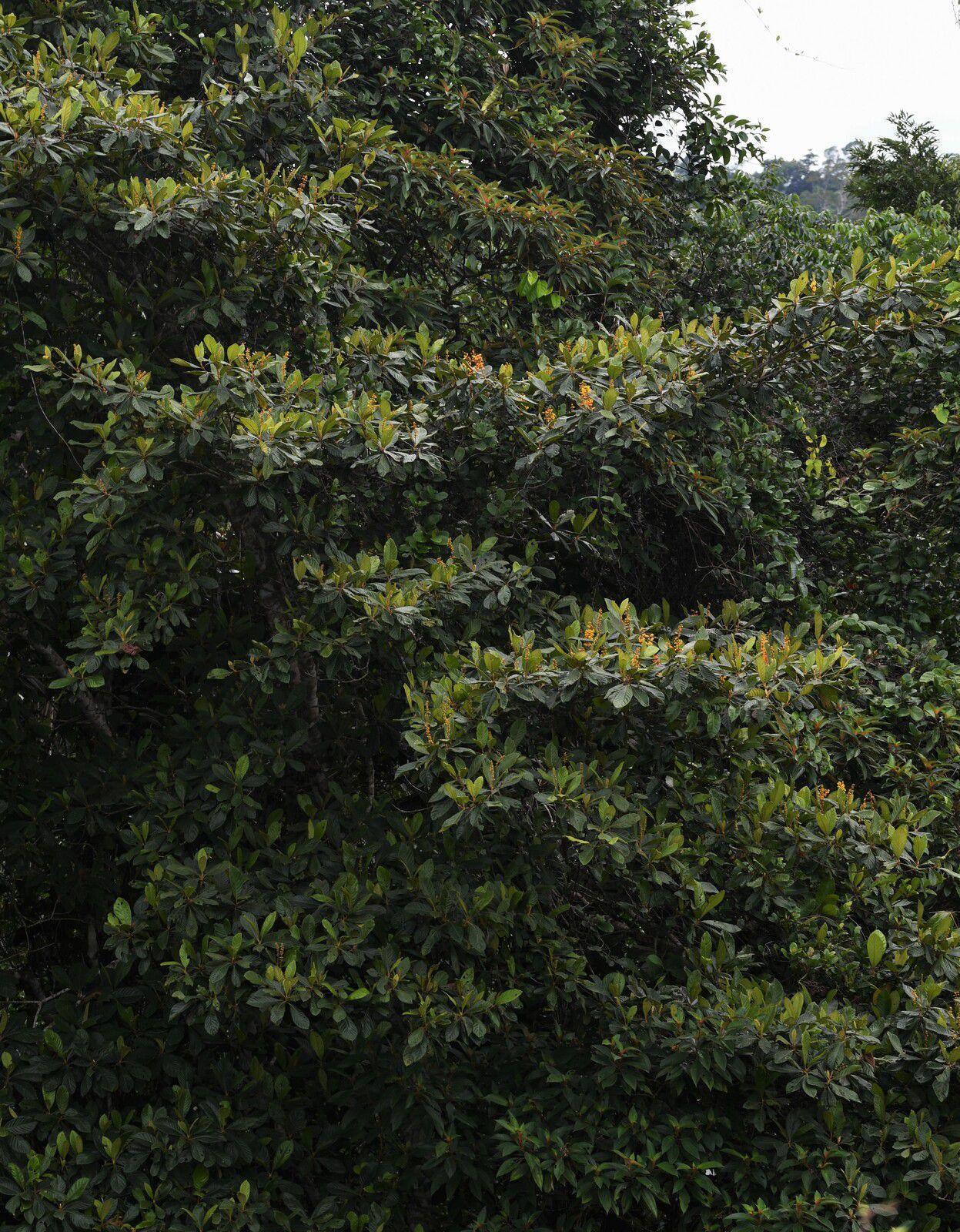 Byrsonima stipulacea