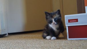 Milka, chaton femelle isabelle, à l'adoption -> adoptée