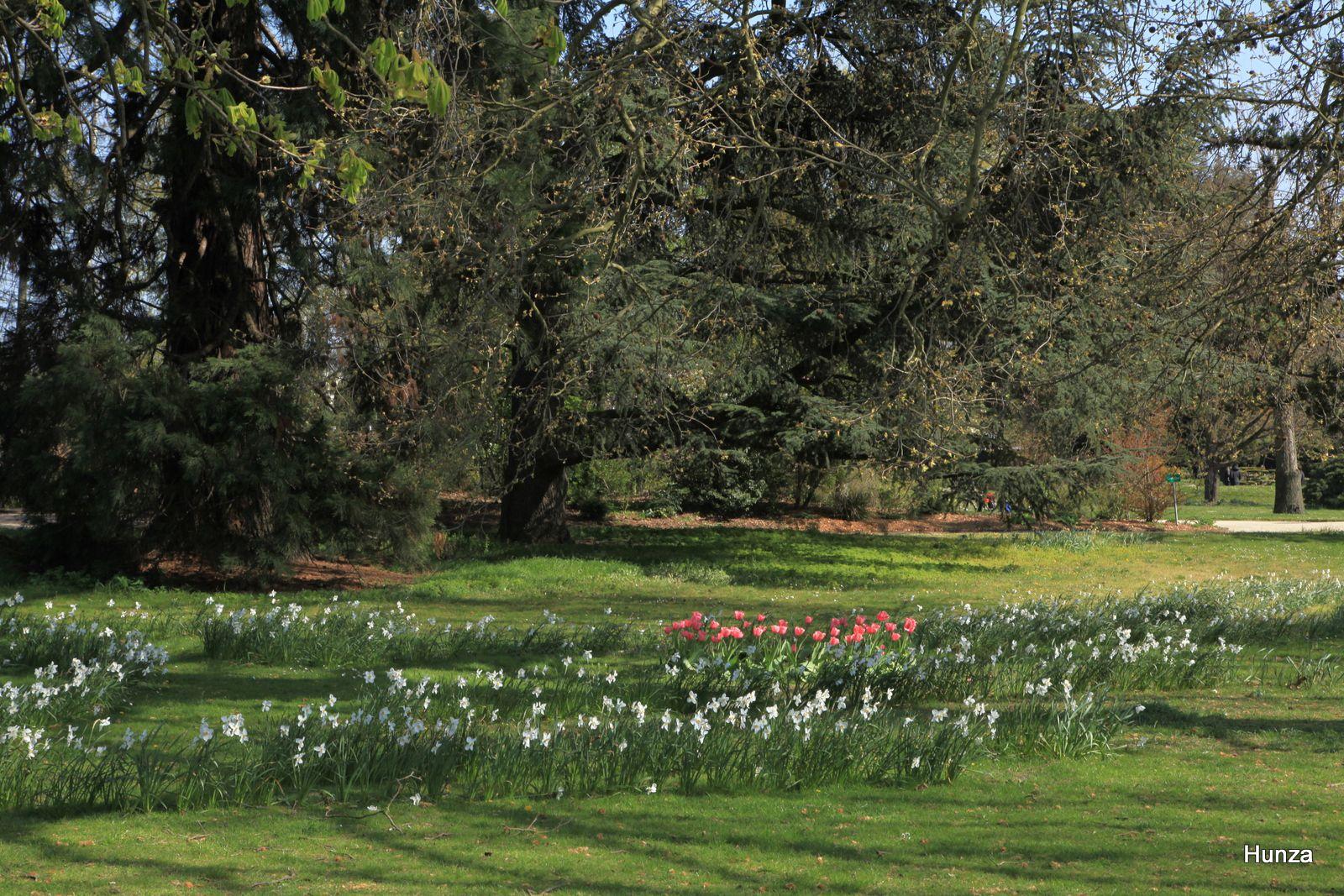 Jardin de l'école du Breuil : tulipes et narcisses