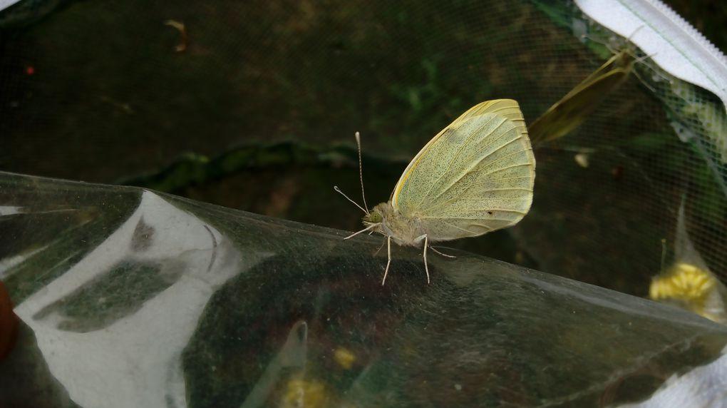 Notre élevage de papillons