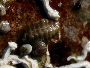 Ponte de Pourpre (Nucella lapillus) ; Calliostome (Calliostoma zizyphinum) ; Callochiton septemvalvis avec Rissoa parva sur le dos ; un autre Chiton difficile à déterminer entouré de Serpules et Gibbules cendrées !