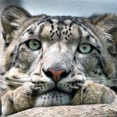 La panthère des neiges n'est plus une espèce menacée d'extinction mais elle n'est pas sauvée pour autant