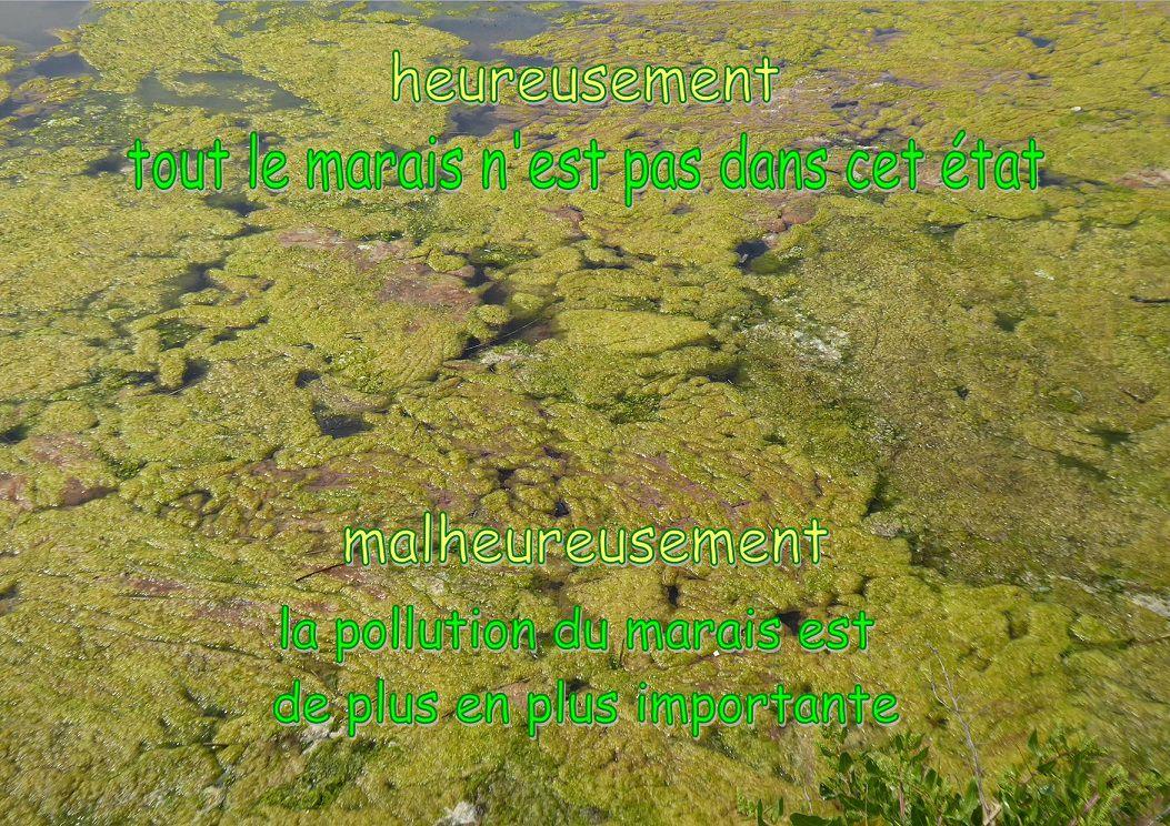Algues dans les marais