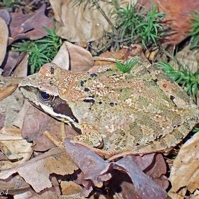 La grenouille rousse