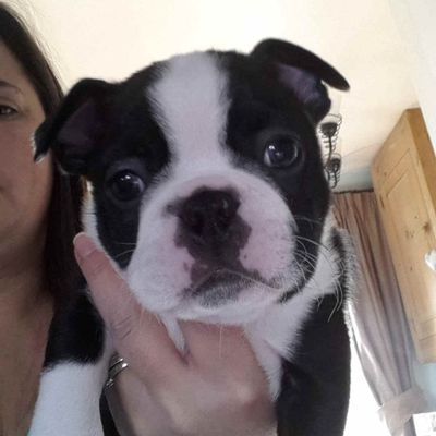 Very healthy and cute Boston Terrier puppies