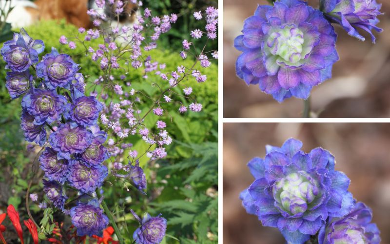 Les delphiniums doubles Highlander
