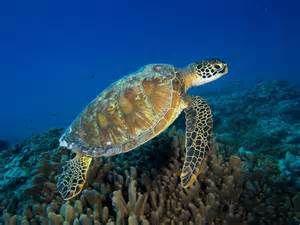 Conservation des tortues !