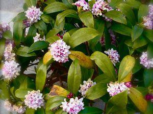Début mars : Chant des premiers rossignols japonais et parfum de daphnés odorants