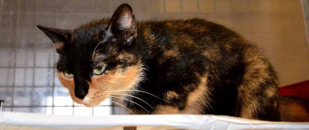 Elle est adoptée !!! : PHOEBE, chatte tricolore stérilisée de 3 ans