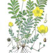 Les plantes sauvages médicinales - Botanic Santé
