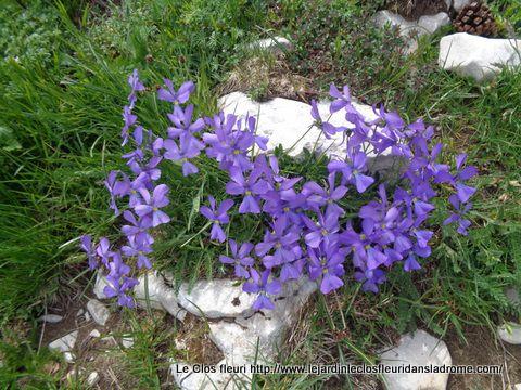 Viola calcarata  L.   Violaceae    Pensée des Alpes