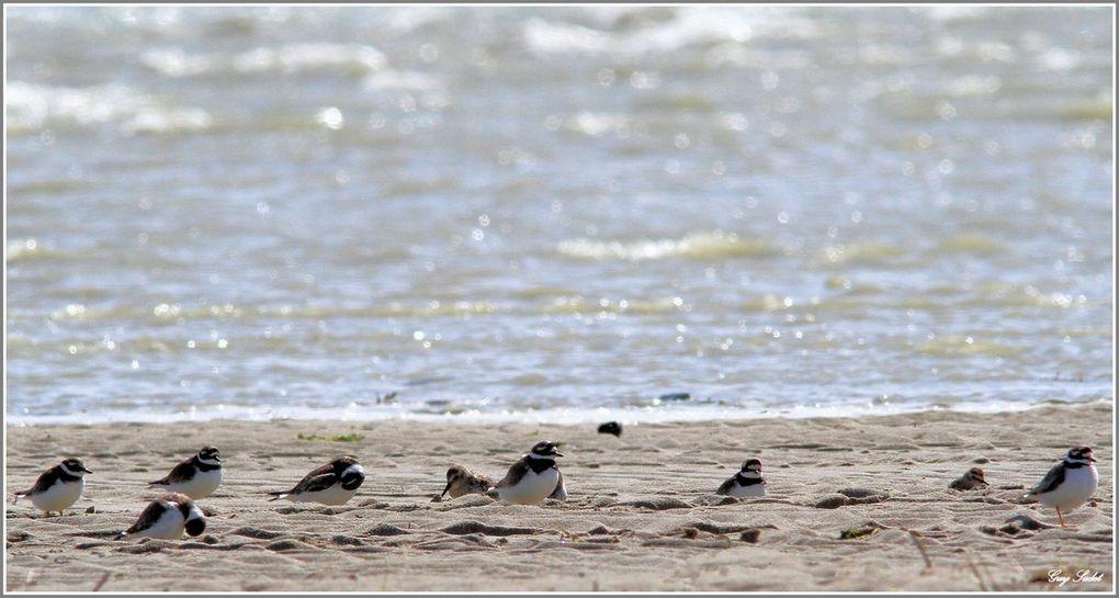 Il est temps pour ces huîtriers-pie de rejoindre par milliers, le parc du Marquenterre situé juste derrière la digue qui les sépare de la baie, dans quelques temps ils n'auront plus assez d'espace, les flots auront recouverts entièrement ban