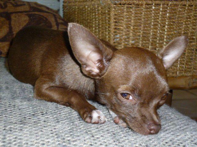 Chihuahua chocolat Heidi