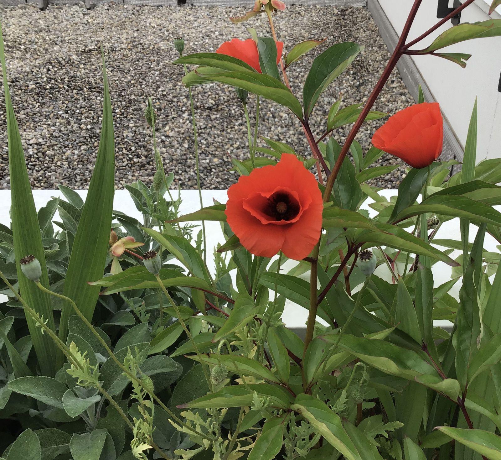 Les fleurs du mois de mai 2021 dans le micro jardin urbain, petit tour du jardin
