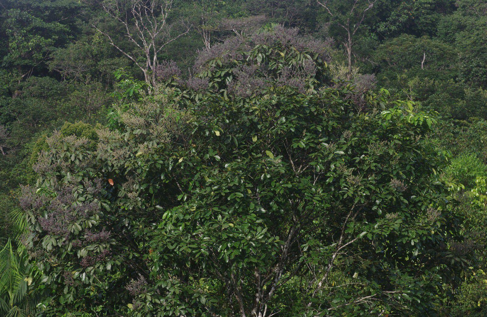 Ormosia coutinhoi (saint-martin blanc)
