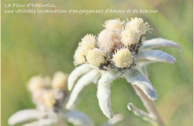 LA Fleur d'Edelweiss