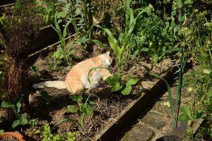 Un chat dans le potager