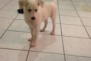 BLANCHE - chiot femelle - adoptée à 2 mois