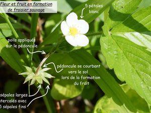Double calice de Rosaceae