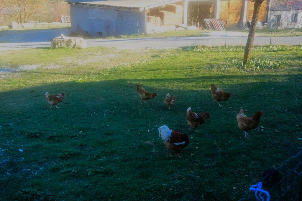 La Mure -Argens : Les buses sont de retour attention aux poules :