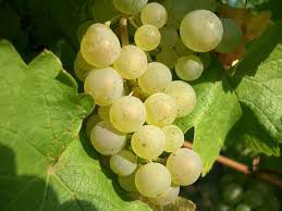 #Riesling Producers Pennsylvania Vineyards page 4