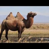 Chameaux sauvages - Wild Camel Protection Foundation - Mongolie