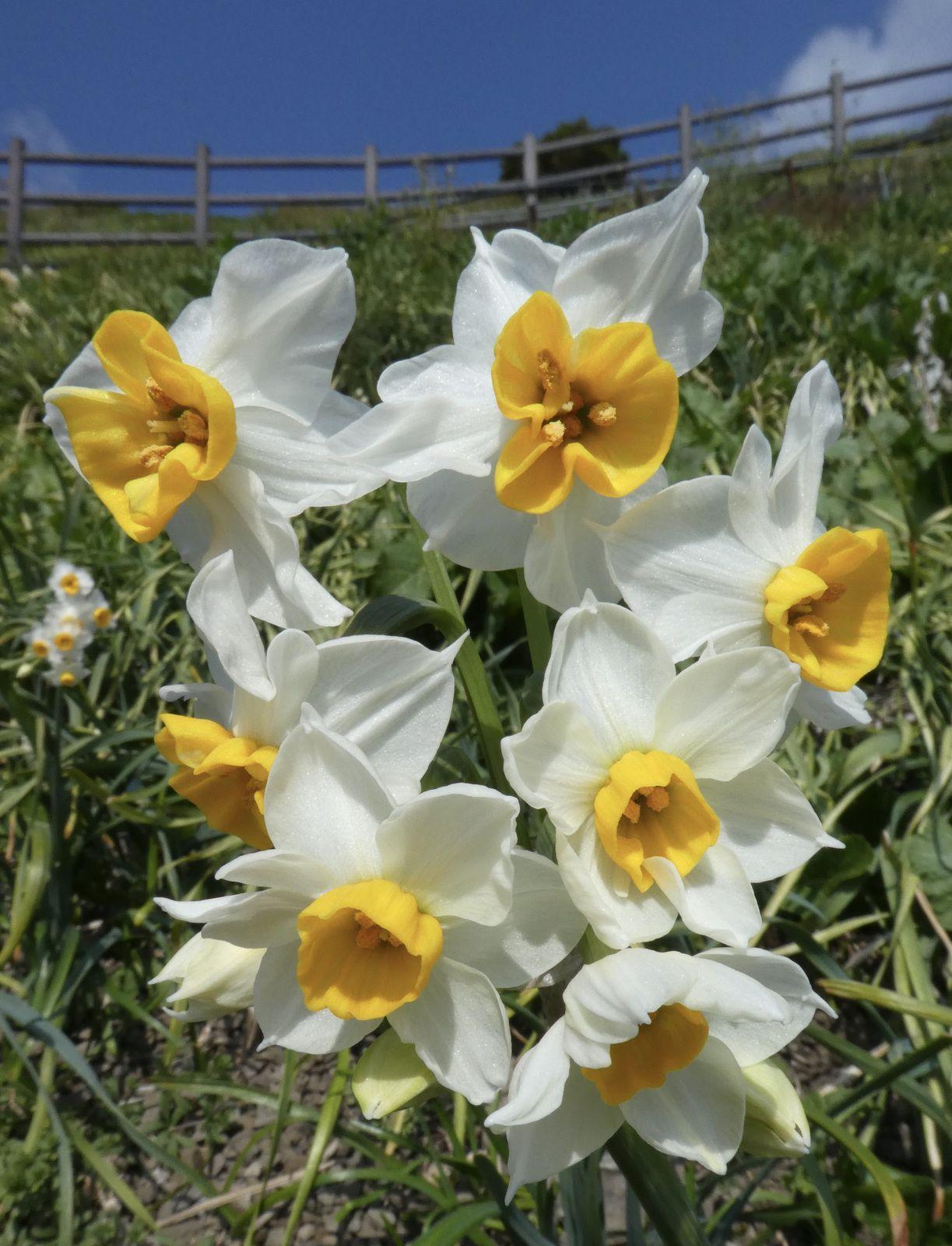 Préf. de Hyôgo: Ile d'Awaji: Narcisses et oignons