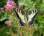 ONTOGENESES PAPILIO MACHAON 2020.