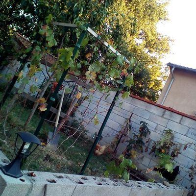 Plantation de vignes à palisser au verger