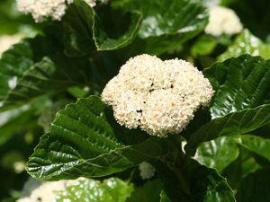 Viburnum tinus 'Macrophyllum'  - Viburnum bracteatum